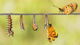 Life cycle of Tawny Coster transform from caterpillar to butterfly on twig