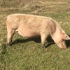 Stock Dispersal of Large White Land Race - Composite Breed Pigs For Sale
