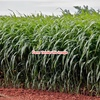 Forage Sorghum Seed