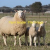 250 1st X Ewes With Lambs At Foot Wanted.