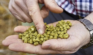 If you love your beer, here's a story on an essential ingredient - Aussie Hops