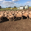 245 x 5yo Merino Ewes, One Oak Blood,  July Shorn, Purple Tags