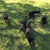 Litchlee Kelpie Pups