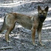 5 Year NSW Wild Dog strategy released