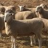 Border Leicester Flock Rams July Aug. 2018 drop  Long Established  Stud