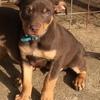 Kelpie pups for sale