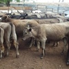 40 x Wagyu - Murray Grey Cross Vealers For Sale