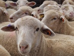 Does shearing increase lamb growth rates?