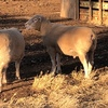 3 x Pole Dorset Rams For Sale - sold as one lot