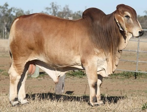 Whitaker Brahman to $16,000 top