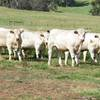 Agistment.  80 Acres available for Cattle.  Yearlings or Cows