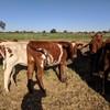 Pure Bred Illawarra Heifers