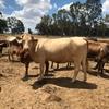 Assorted cattle,longhorn bull,cross bred calves,charolais cow,cross bred heifers,calves from $200