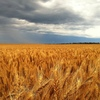 Mecardo Analysis - Visualising wheat percentiles