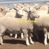 Wanted 120-150 Merino Ewes