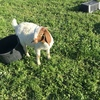 Full Blood registered Boer Goats