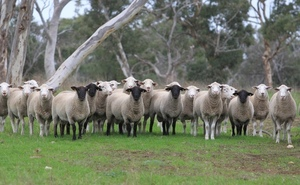 Seriston White Suffolks and Suffolks to $5000