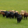 Biodynamic Cattle for sale