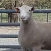 Aberdeen Ram sale result