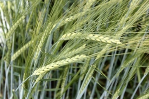 Barley Australia Announces the Results of Malting Barley Evaluation Trials