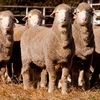 Pooginook Merinos average of $2464 for 234 sold