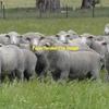 350 Dohne Ewes
