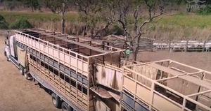 Video - Mustering Cattle destined for the live export market