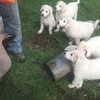Maremma pups