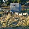 16 sheep dorpers