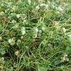 Balansia Clover 80% &  Wimmera Ryegrass  Hay 8x4x3  60 x 600 KG Approx Bales.