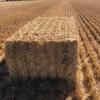 300 x Barley Straw 8x4x3 Bales