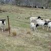 Black Headed Dorper Sheep For Sale