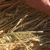 480 5x4 Rolls of Wheaten and Shaftal Hay
