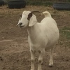 6 boer goats for sale (does)