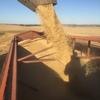 Feed oats