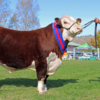 Solid Sale - Herefords signature sale averages $8183