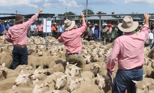 Restockers busy buying store Lambs at Ballarat