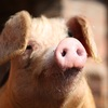 Protecting Australia from African Swine Fever
