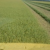 200/mt Quality Canola Hay For Sale