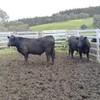 2 Angus steers 26 months old.