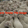 Wanted 400 to 600 Merino Wethers or Wether Lambs prefer Northern Bred