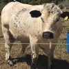 Purebred Speckle Park Bull for sale