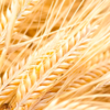 Malt Barley demand increases slowly