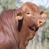 Glendlands record Droughtmaster Bull Sale average