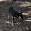 12 month old male Kelpie Pup