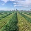 Rye Grass Silage