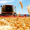 Grain Report - Brazilian Wheat production up as Argentinian exports shaved