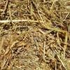 Wheaten Hay 8x4x3 -240 x 550 KG Approx Bales