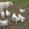 Maremma Gaurdian  dog Puppies