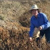 Sticking it to the weed pest Noogoora burr